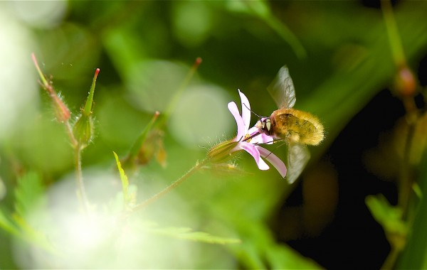 Bombyle (Bombylius major)