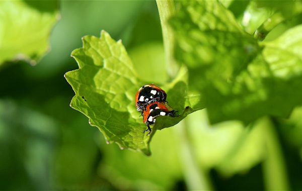 Coccinelle (Coccinellidae)
